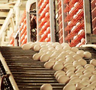 GCSE-Prüfungen sollten abgeschafft werden. Ein Foto einer Produktionslinie einer Eierfabrik. Die wahre Geschichte ist die Anzahl der Eier, die vom Förderband fallen und brechen.